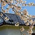 彥根城的櫻