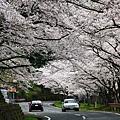 沿路的櫻並木