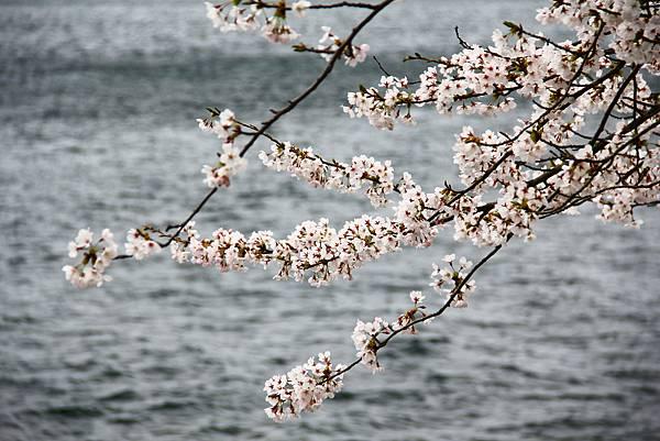湖畔的櫻花