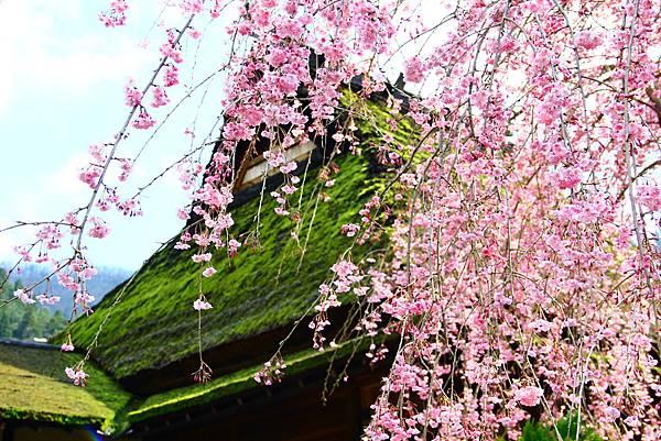 茅草屋與櫻