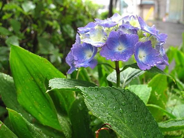 雨中的繡球花