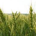 還沒熟的小麥