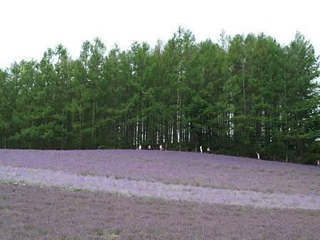 不同品種的薰衣草