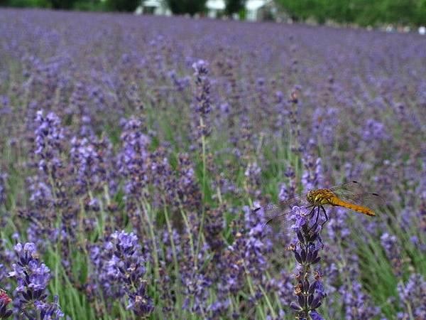 薰衣草上的蜻蜓