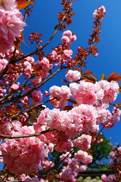藍天下的櫻