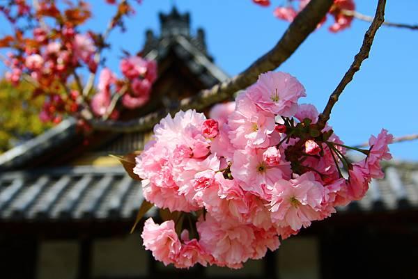 東寺中滿開的櫻