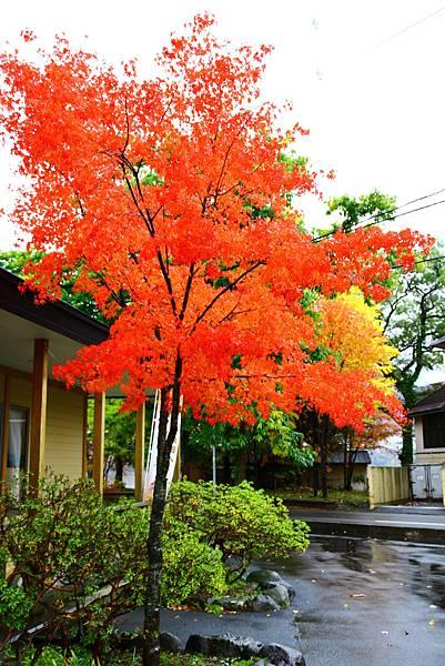 火紅的楓葉