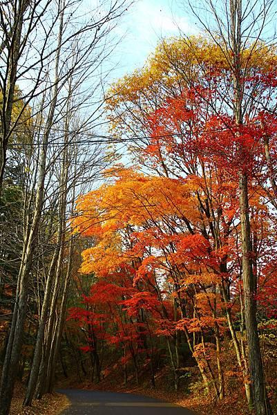 車道旁的楓葉樹