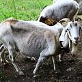 長耳多的羊