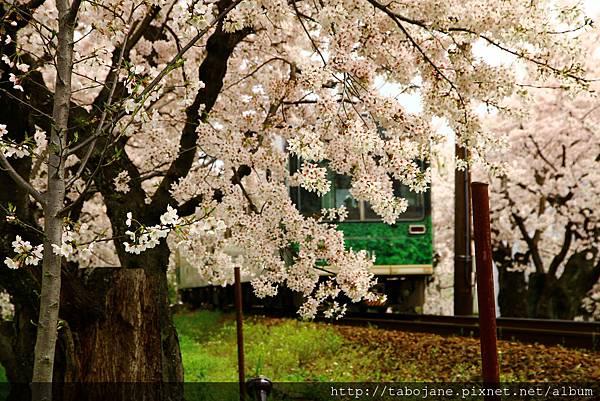 4/5 嵐電~桜のトンネル