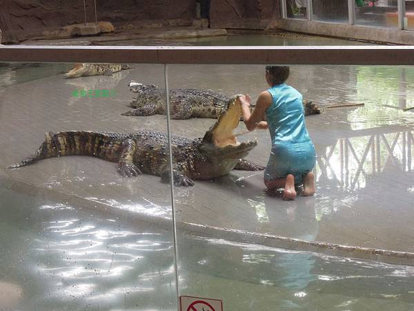 到泰國看鱷魚表演