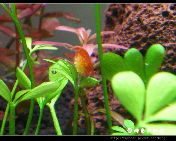 今天發現的超肥『爆』蛋火焰蝦