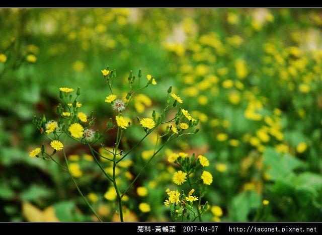 菊科-黃鵪菜_06.jpg