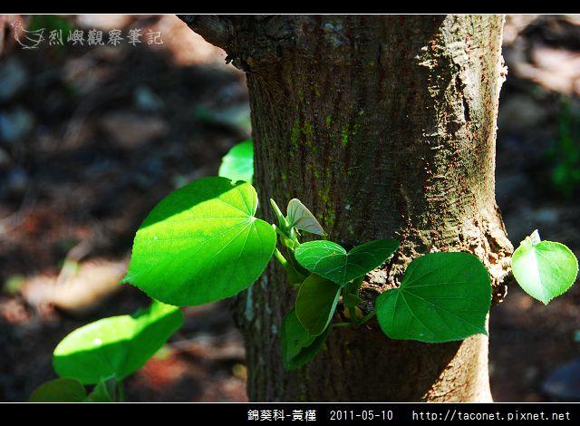 錦葵科-黃槿_09.jpg