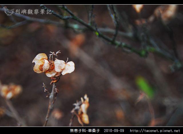 無患子科-車桑子_04.jpg