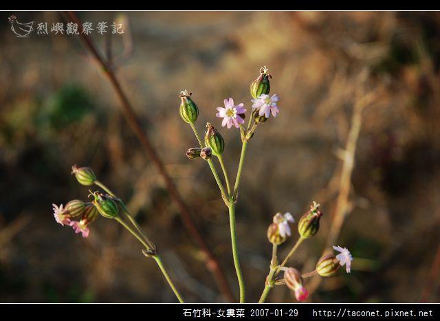 石竹科-女婁菜_03.jpg