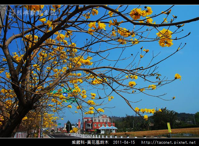 紫葳科-黃花風鈴木_16.jpg