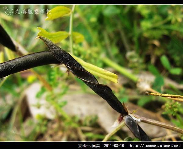 豆科-大巢菜_13.jpg