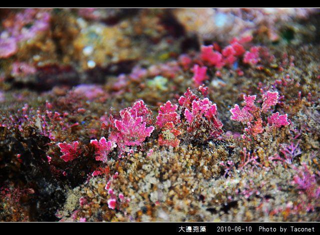 大邊孢藻_01.jpg