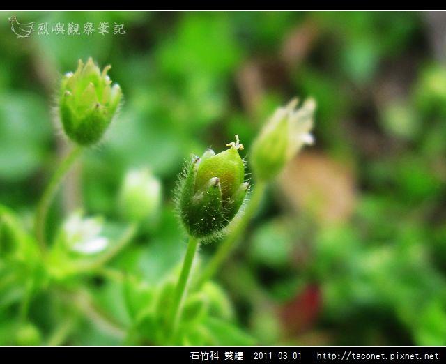 石竹科-繁縷_13.jpg