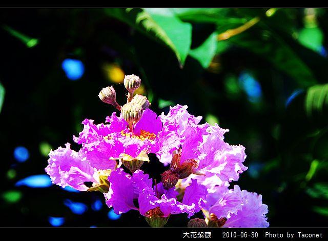 大花紫薇_05.jpg