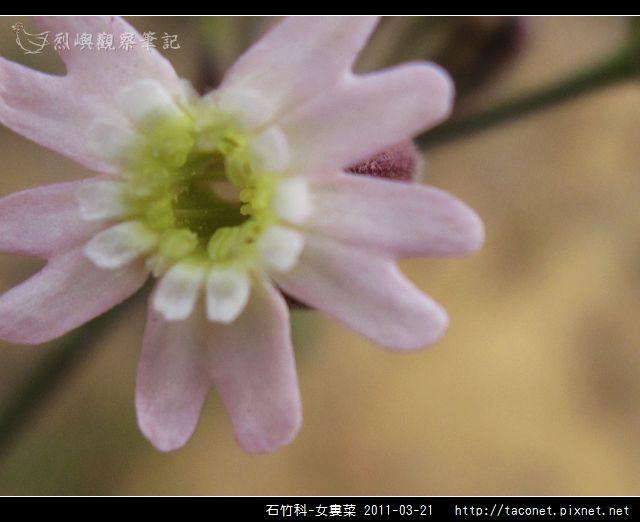 石竹科-女婁菜_18.jpg