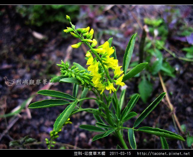 豆科-印度草木樨_04.jpg