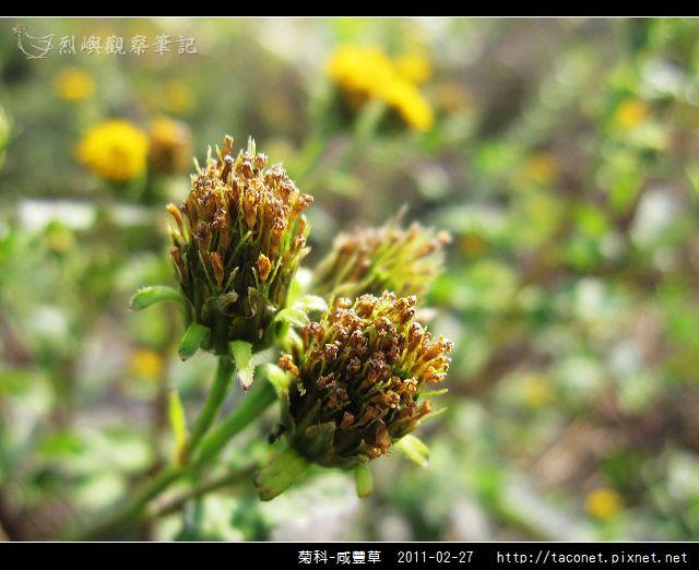 菊科-咸豐草_08.jpg