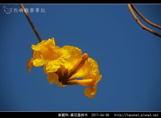 紫葳科-黃花風鈴木_05.jpg