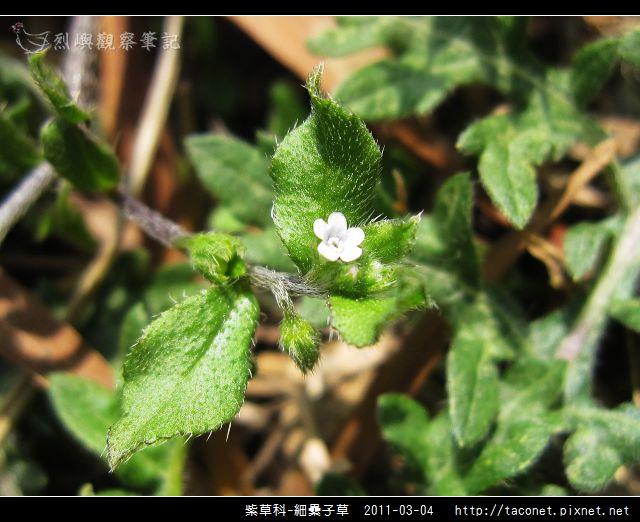 紫草科-細纍子草_11.jpg
