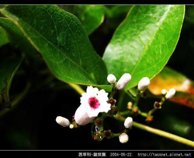 茜草科-雞屎藤_06.jpg