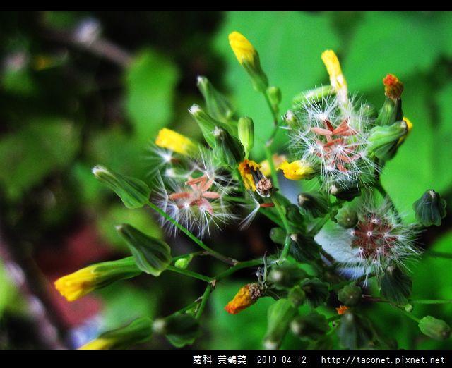 菊科-黃鵪菜_12.jpg