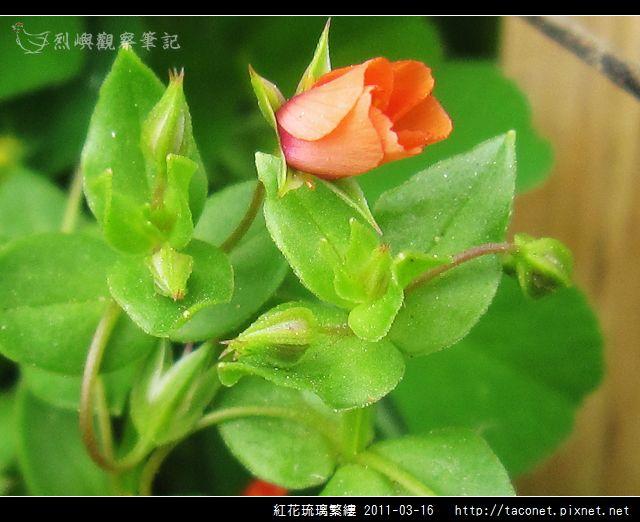紅花琉璃繁縷-13.jpg