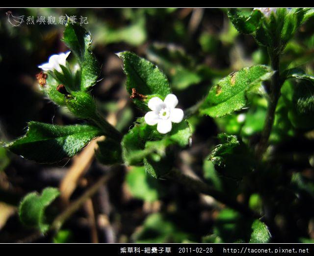 紫草科-細纍子草_02.jpg