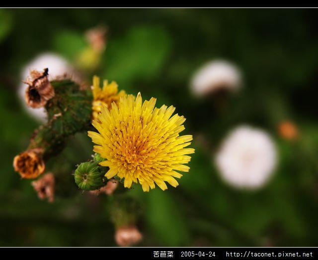 苦苣菜_09.jpg