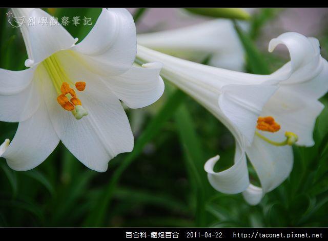 百合科-鐵炮百合_12.jpg