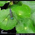 粗腰蜻蜓_06.jpg
