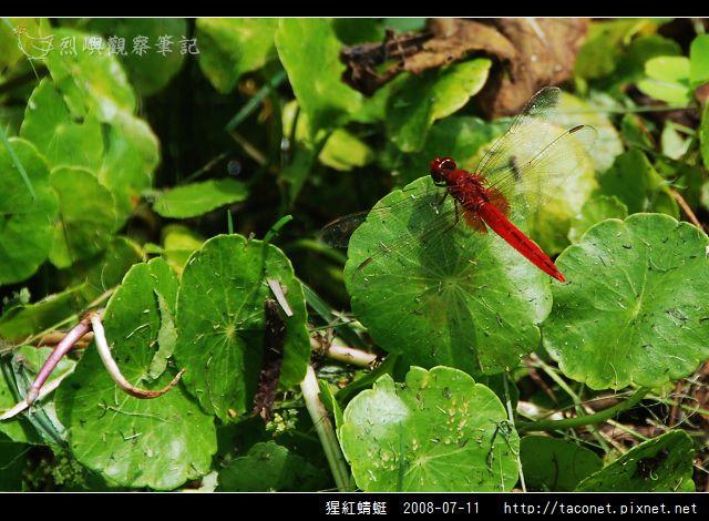 猩紅蜻蜓_03.jpg