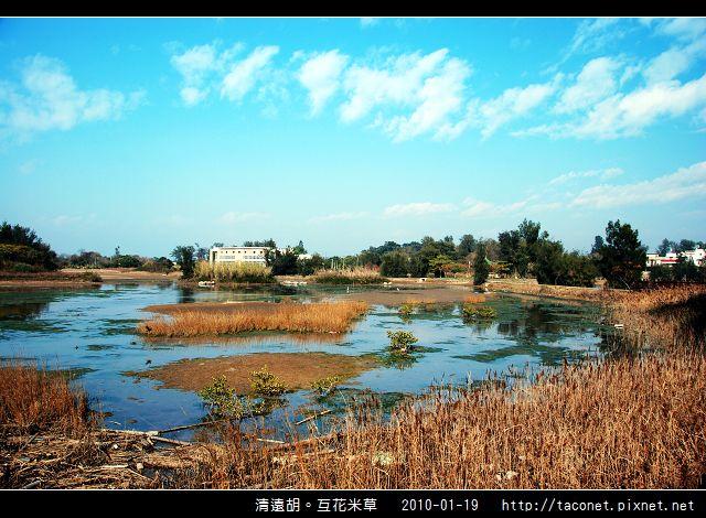 互花米草在清遠湖_08.jpg