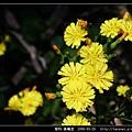菊科-黃鵪菜_08.jpg