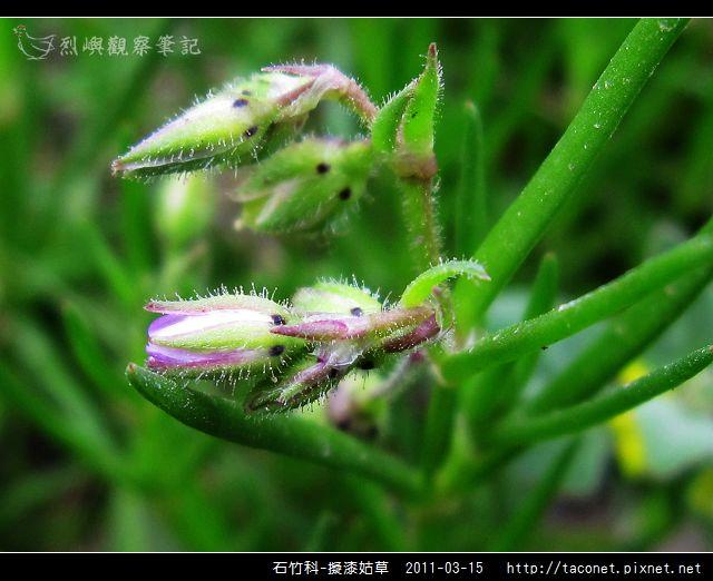 石竹科-擬漆姑草_13.jpg