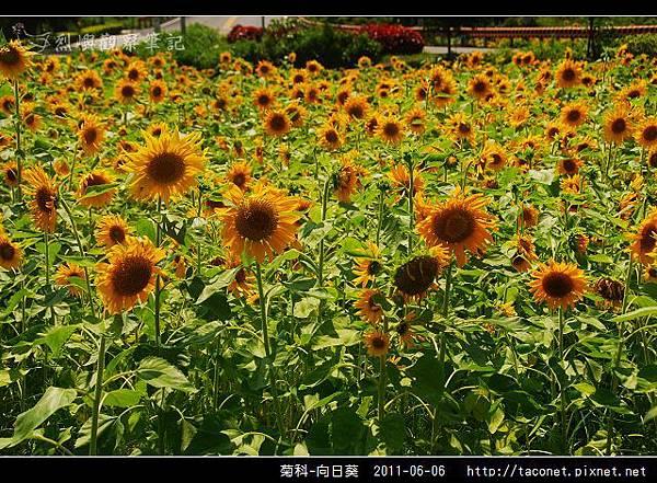 菊科-向日葵_05.jpg