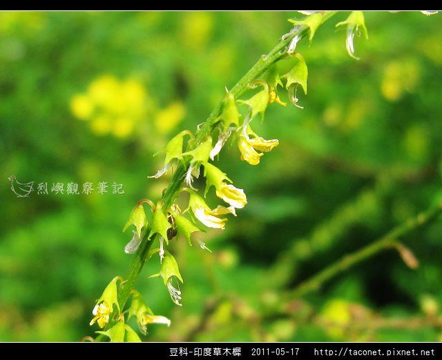 豆科-印度草木樨_13.jpg
