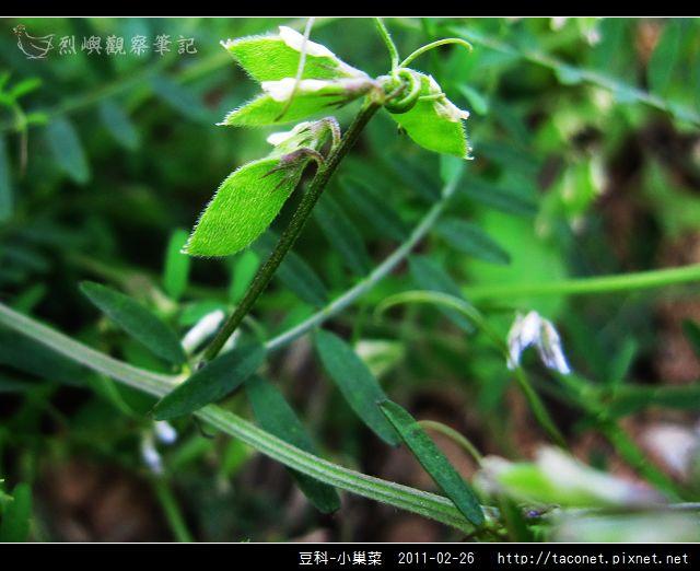 豆科-小巢菜_14.jpg