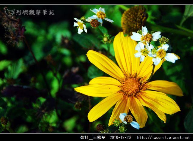 菊科-王爺葵_15.jpg
