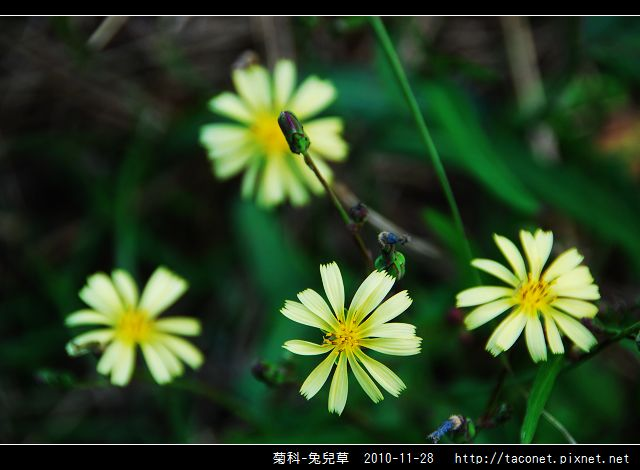 菊科-兔兒草_12.jpg