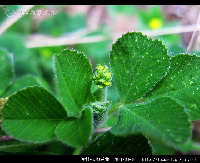 豆科-天藍苜蓿_07.jpg
