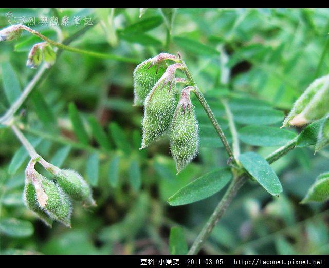 豆科-小巢菜_10.jpg