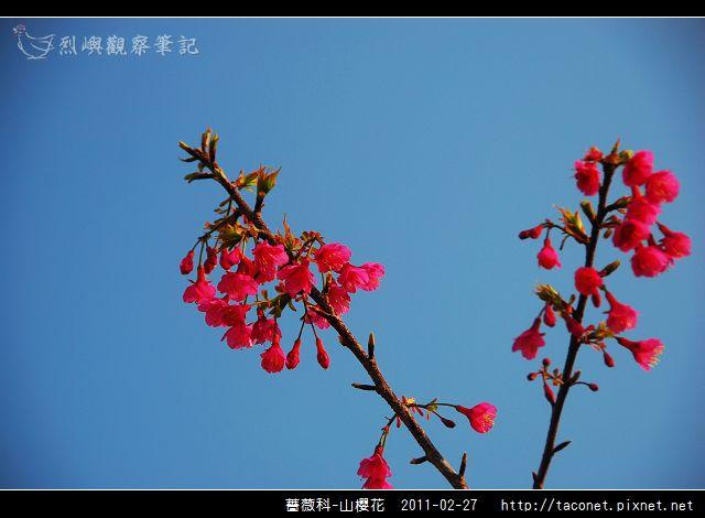 薔薇科-山櫻花_14.jpg