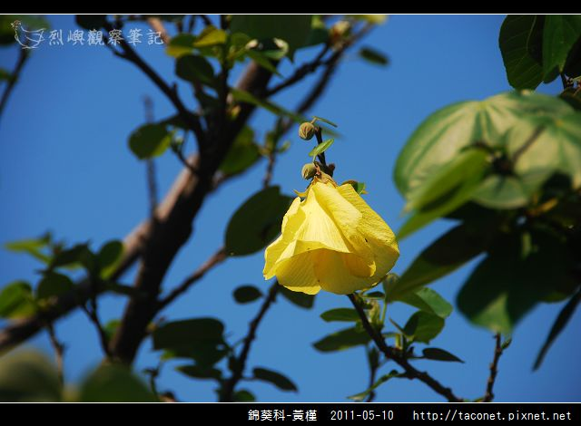 錦葵科-黃槿_04.jpg